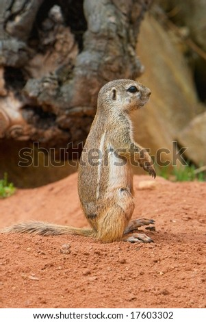 Striped Bush Squirrel (Paraxerus flavovittis) sitting upright. - stock photo