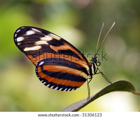 striped butterfly on a leaf - stock photo