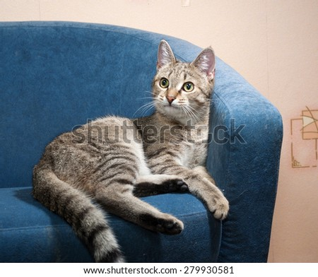 Striped cat lies on blue soft chair - stock photo