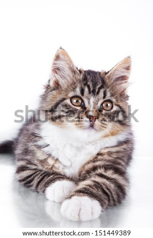striped cat on a white background, black color marble, cute cat - stock photo