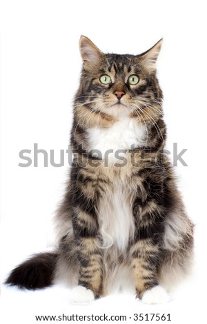 Striped cat on a white background. Isolated