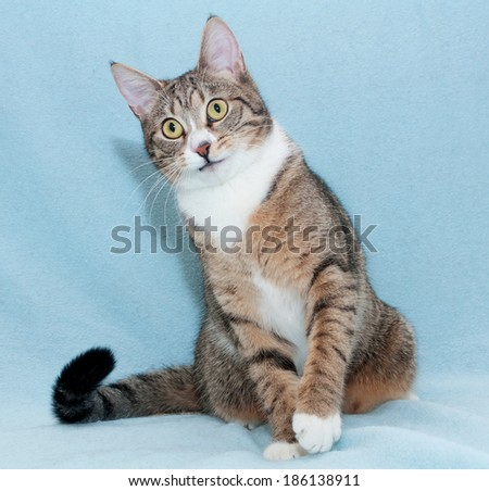 Striped cat sitting on blue background