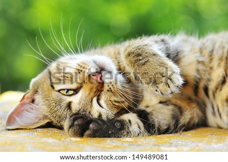 striped cat with long whiskers expressive - stock photo