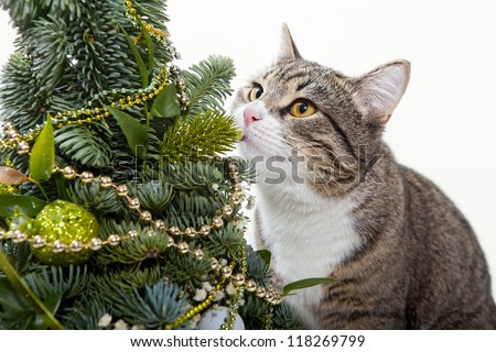 Striped, domestic cat and green Christmas tree