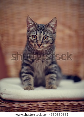 Striped domestic kitten with yellow eyes.