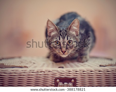 Striped domestic kitten with yellow eyes sits on a wattled suitcase