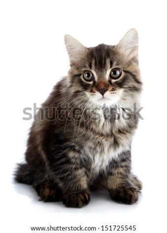 Striped fluffy kitten. Striped not purebred kitten. Kitten on a white background. Small predator. Small cat. - stock photo