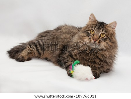 Striped fluffy Siberian cat with yellow eyes lying on gray background