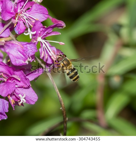 striped fly in flight on a background of pink flowers