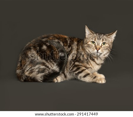 Striped gray cat sitting on dark gray background