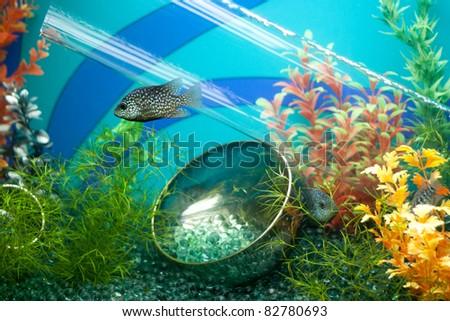 Striped grey fish in decorated aquarium - stock photo