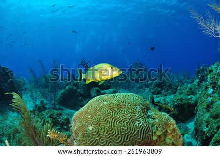 Striped Grunt, Grand Cayman - stock photo