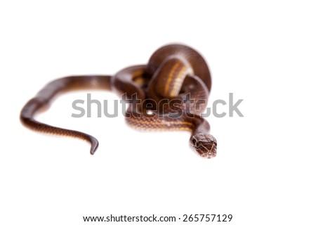 Striped House Snake, Boaedon lineatus, isolated on white background - stock photo