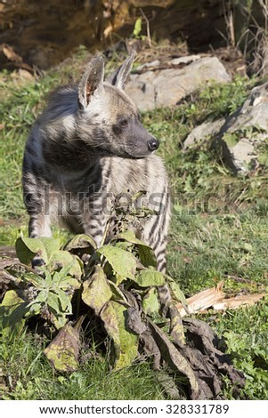 Striped Hyaena, Hyaena Hyaena, watching nearby