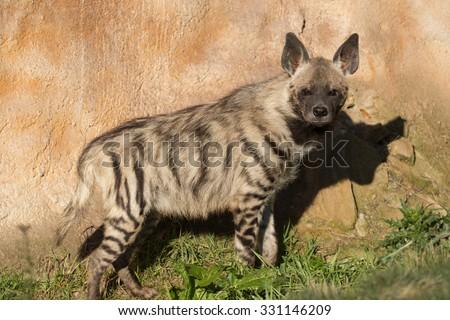 Striped hyena (Hyaena hyaena) with broad head and dark eyes - stock photo