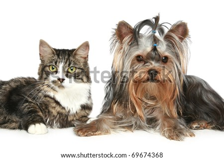 Striped kitten and yorkshire terrier on a white background - stock photo