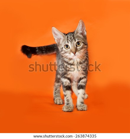 Striped kitten standing on orange background - stock photo