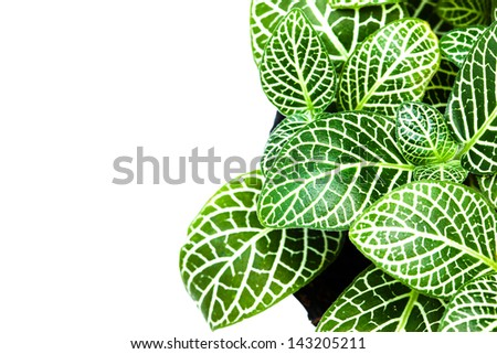 striped leaf ornamental plants close up on white background - stock photo