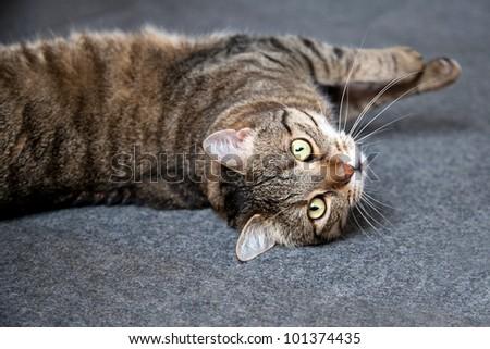striped male cat - stock photo