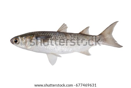 Striped mullet (Mugil cephalus) isolated on white background