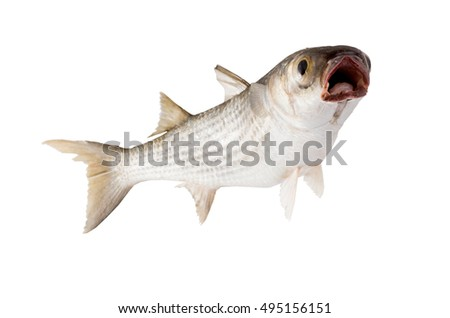 Striped mullet (Mugil cephalus)   open mouthed,   isolated on white background