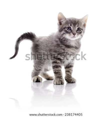 Striped not purebred kitten. Amusing gray kitten. Kitten on a white background. Small predator. Small cat. - stock photo