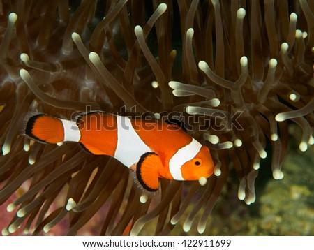 Striped orange white and black nemo clown fish - stock photo