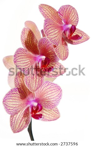 Striped orchid flower isolated on white background