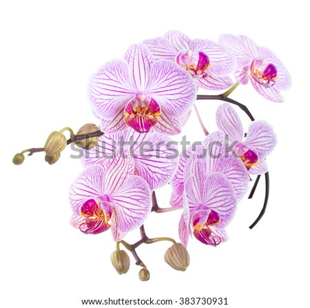Striped Phalaenopsis orchid. isolated Phalaenopsis orchid. isolated - stock photo