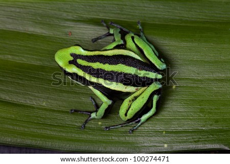 striped poison dart frog sitting on green leaf in Amazon rain forest Cute poisonous pet animal in terrarium - stock photo