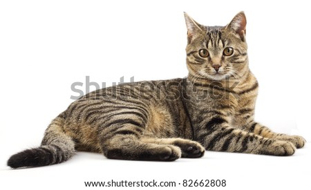 Striped purebred cat on a white background - stock photo