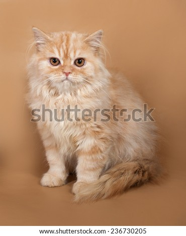Striped red fluffy cat Scottish Fold sits on yellow background - stock photo