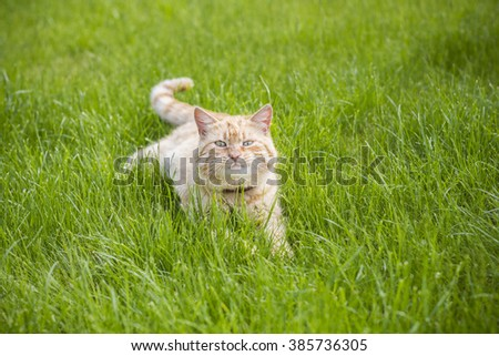 Striped red young cat on the grass