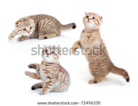 Striped Scottish kitten collection isolated
