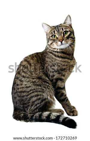 Striped Siberian cat isolated on white - stock photo
