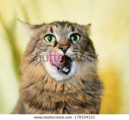 Striped siberian licking on a yellow background - stock photo