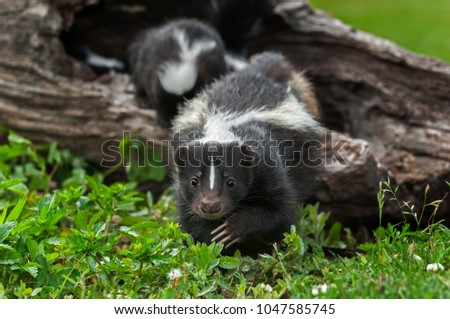 Striped Skunk Doe (Mephitis mephitis) Creeps Forward - captive animals