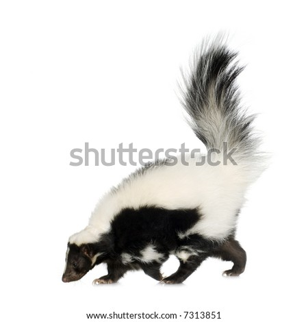 Striped Skunk - Mephitis mephitis in front of a white background
