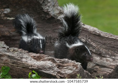 Striped Skunk (Mephitis mephitis) Kits Look Right Within Log - captive animals