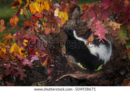 Striped Skunk (Mephitis mephitis) Stands Up to Sniff - captive animal