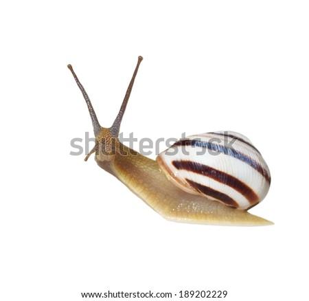 Striped snail isolated on white, vineyard snail,  Cernuella virgata  - stock photo