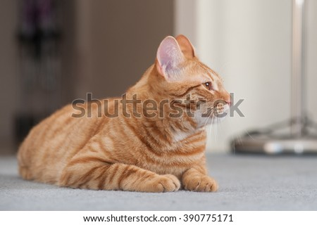 Striped Tabby cat reclined showing right profile.