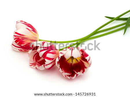 striped tulips over white - stock photo
