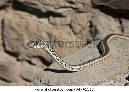 Striped Whipsnake at Aztec Ruins National Monument