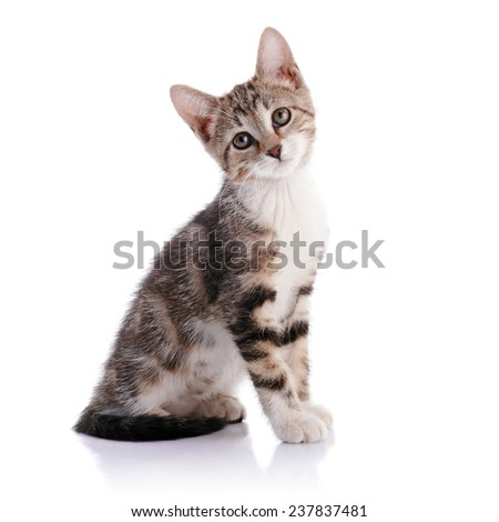 Striped with white a Small kitten. Not purebred kitten. Kitten on a white background. Small predator. Small cat. - stock photo