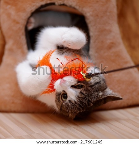 Striped with white the cat plays with a toy. Striped not purebred kitten. Small predator. Small cat. - stock photo