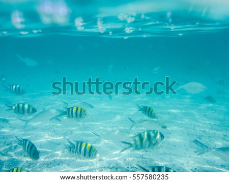 Striped Zebrafish underwater near the Surface of the Ocean