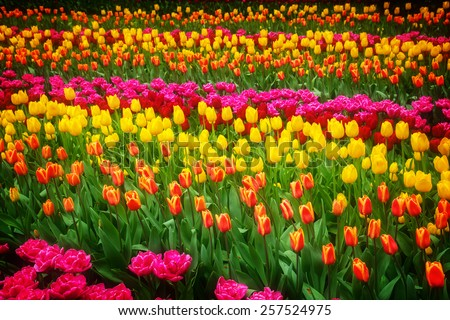Stripes of multicolored   tulips flowerbed close up, retro toned - stock photo