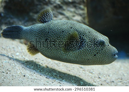 Stripped puffer (Arothron meleagris), also known as the golden puffer. Wildlife animal.  - stock photo