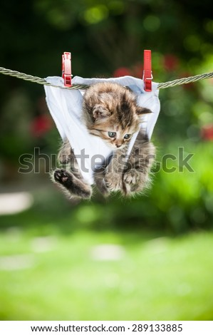Stripy fluffy kitten in white panties hanging on the rope looking down - stock photo